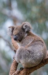 Cuddly koala sitting in a tree