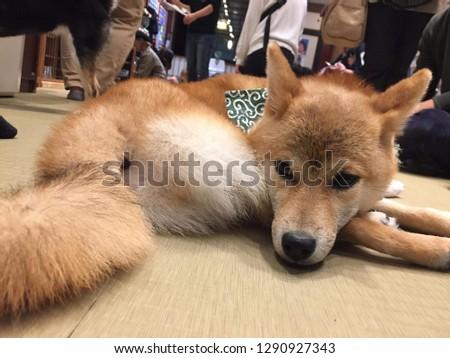 cuddly mameshiba pups #1290927343
