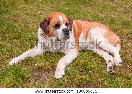 Cuddly Saint Bernard dog looks curiously.