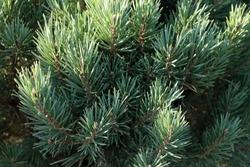 Cultivar dwarf Scotch pine (Pinus sylvestris 'Watereri') in the summer garden