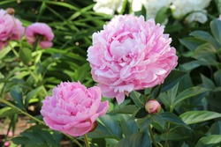 Cultivar herbaceous peony (Paeonia lactiflora 'Sarah Bernhardt') flowers in the summer garden