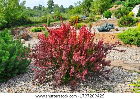Cultivar Thunbergs barberry (Berberis thunbergii 'Red Rocket') in rocky garden. Bright ornamental bush with vivid red-burgundy leaves, focus is at foreground. Gardening or landscaping concept Stock photo ©