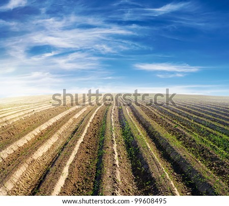 cultivated field over blue sky in summer with young plants starting to grow