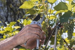 Cultivated grapes. Cutting grape leaves. Photography of male hands and pruning shears. The process of cultivating grapes during summer, cutting leaves. The domestic vineyard.