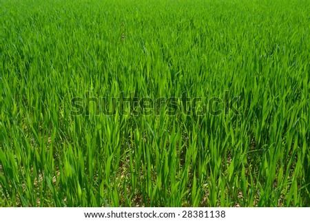 Cultivated green field, newly planted crop