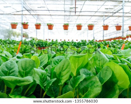 Cultivated ornamental flowers growing in a commercial plactic foil covered horticulture greenhouse #1355786030