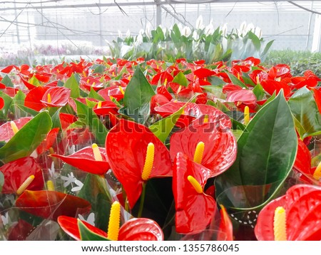 Cultivated ornamental flowers growing in a commercial plactic foil covered horticulture greenhouse #1355786045