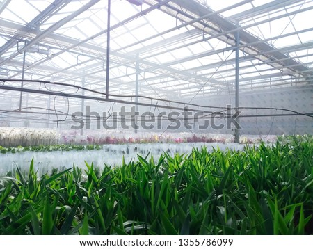 Cultivated ornamental flowers growing in a commercial plactic foil covered horticulture greenhouse #1355786099