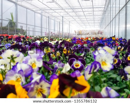 Cultivated ornamental flowers growing in a commercial plactic foil covered horticulture greenhouse #1355786132