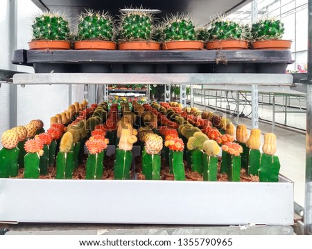 Cultivated ornamental flowers growing in a commercial plactic foil covered horticulture greenhouse #1355790965
