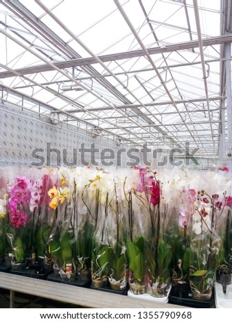 Cultivated ornamental flowers growing in a commercial plactic foil covered horticulture greenhouse #1355790968