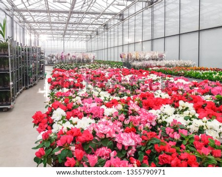 Cultivated ornamental flowers growing in a commercial plactic foil covered horticulture greenhouse #1355790971