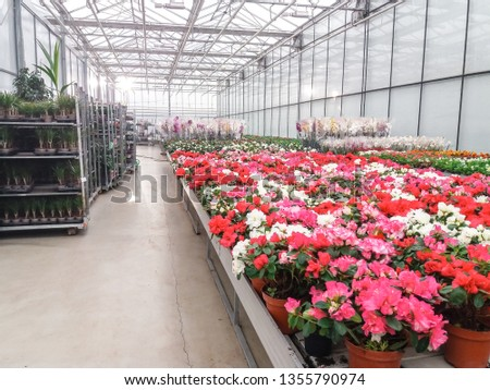 Cultivated ornamental flowers growing in a commercial plactic foil covered horticulture greenhouse #1355790974