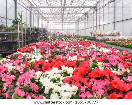 Cultivated ornamental flowers growing in a commercial plactic foil covered horticulture greenhouse #1355790977
