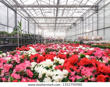 Cultivated ornamental flowers growing in a commercial plactic foil covered horticulture greenhouse #1355790980
