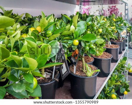 Cultivated ornamental flowers growing in a commercial plactic foil covered horticulture greenhouse #1355790989