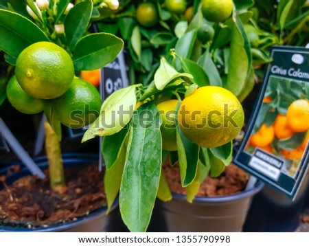 Cultivated ornamental flowers growing in a commercial plactic foil covered horticulture greenhouse #1355790998