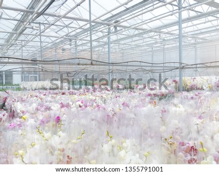 Cultivated ornamental flowers growing in a commercial plactic foil covered horticulture greenhouse #1355791001
