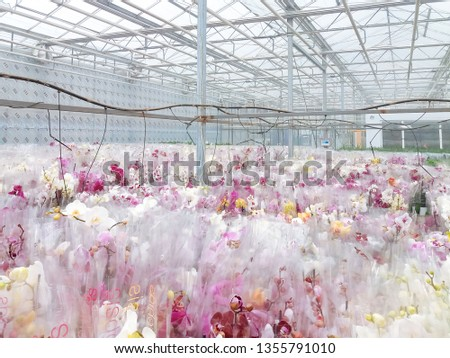 Cultivated ornamental flowers growing in a commercial plactic foil covered horticulture greenhouse #1355791010