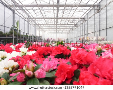 Cultivated ornamental flowers growing in a commercial plactic foil covered horticulture greenhouse #1355791049