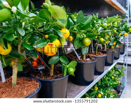 Cultivated ornamental flowers growing in a commercial plactic foil covered horticulture greenhouse #1355791202
