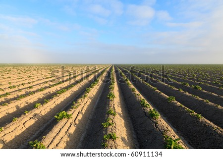 Cultivated potato field with morning sun - stock photo