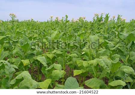 cultivated Tobacco