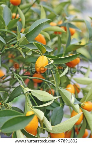 cultivation of citrus fruits of all kinds in a greenhouse in Sicily in Italy