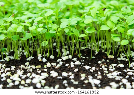 Cultivation of plants in a greenhouse for transplanting