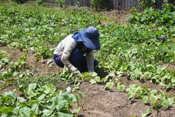 Cultivation of sweet potatoes. In Japan, sweet potatoes can be planted from May to June and harvested in the fall.
