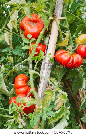 Cultivation Of Tomatoes In Vegetable Garden In Italy - Red And ...
