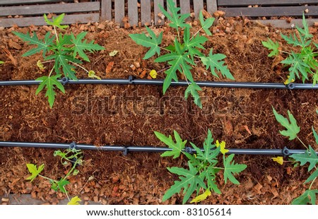 Cultivation tubes Tapioca Plants Cassava. closeup Useful as background for design-works.