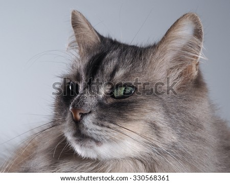 Cunning cat. The look is very sly grey cat. Green eyes, cunning. Portrait of cat