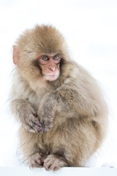 Cunning Snow Monkey baby looking suspicious with white snow background