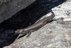 Cunningham's Skink basking outside it's rock crevice refuge