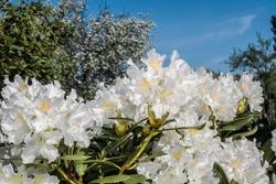 Cunningham's White Rhododendron (Rhododendron caucasicum x Rhododendron ponticum var. album) in garden, Moscow region, Russia