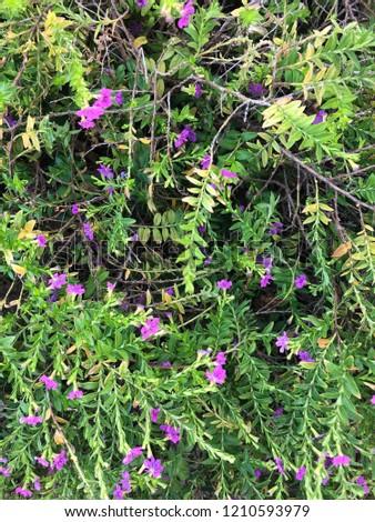Cuphea hyssopifolia, False heather, Mexican heather, Hawaiian heather #1210593979