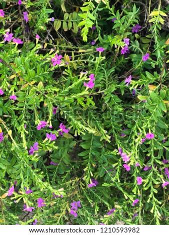 Cuphea hyssopifolia, False heather, Mexican heather, Hawaiian heather #1210593982