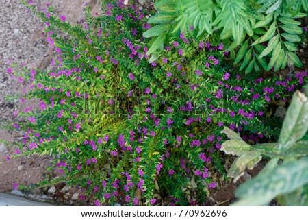 Cuphea hyssopifolia, False heather, Mexican heather, Hawaiian heather #770962696