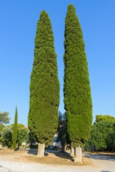 Cupressus sempervirens, common cypress tree