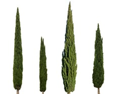 Cupressus sempervirens mediterranean cypress trees isolated on white background
