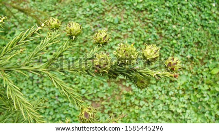 Cupressus sempervirens with branches and very young light green unusual cones, macro photography, beautiful Banja Koviljaca park, Serbia