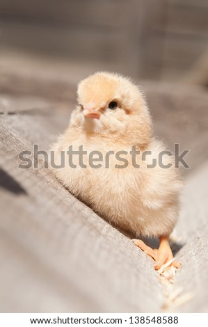 cure yellow little chicken on a farm, standing on wood at the sun