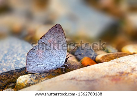 Curetis bulis, the bright sunbeam, is a species of butterfly belonging to the lycaenid family. It is found in Asia. Stock fotó ©