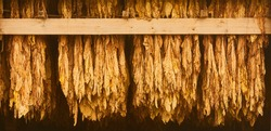 Curing Burley Tobacco Hanging in a Barn