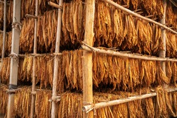 Curing Burley Tobacco Hanging in a Barn. Tobacco leaves drying in the shed. Agriculture  farmers use tobacco leaves to incubate tobacco leaves naturally in the barn.