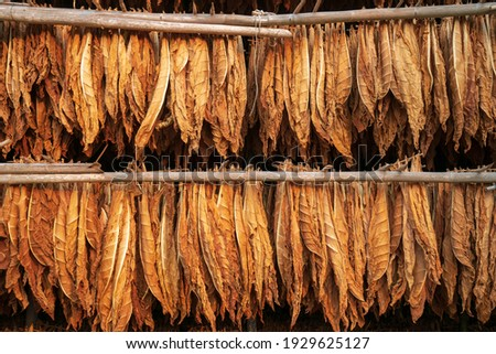 Curing Burley Tobacco Hanging in a Barn.Tobacco leaves drying in the shed.Agriculture farmers use tobacco leaves to incubate tobacco leaves naturally in the barn. Stock photo ©