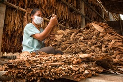 Curing tobacco leaves was selected by workers for dry tobacco. (Yellow scale) before it is sold to the Asian tobacco industry.
