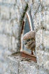Curios little owl (Athene noctua)  sitting in window with broken glass of an old ruined house. Concept of urban animal wildlife. Wild bird of prey in village in the Netherlands.