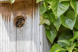 Curiosity. Cute baby bird looking out from its nest box. Curious Wren (Troglodytes) chick peeking around the corner from inside a hand-made country garden wall nesting box. Funny animal meme image.